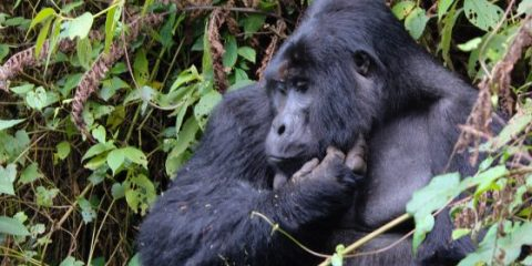 My incredible Gorilla trek in Uganda