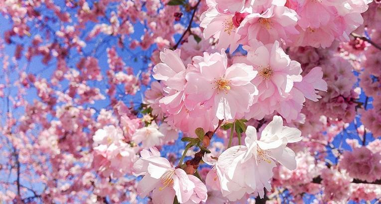 roma-ciliegio-in-fiore-hanami_765x410_.jpg