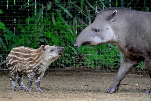 MDG_4717 tapiri