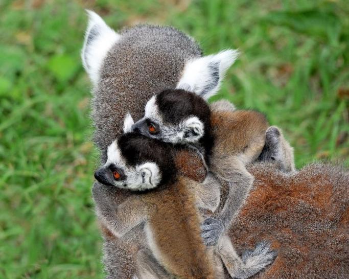 MDG_5137 lemuri catta