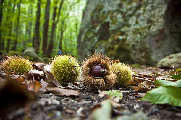 Italy, Campania, Barano d'Ischia . Ischia island - Chestnuts in the woods of Fiaiano