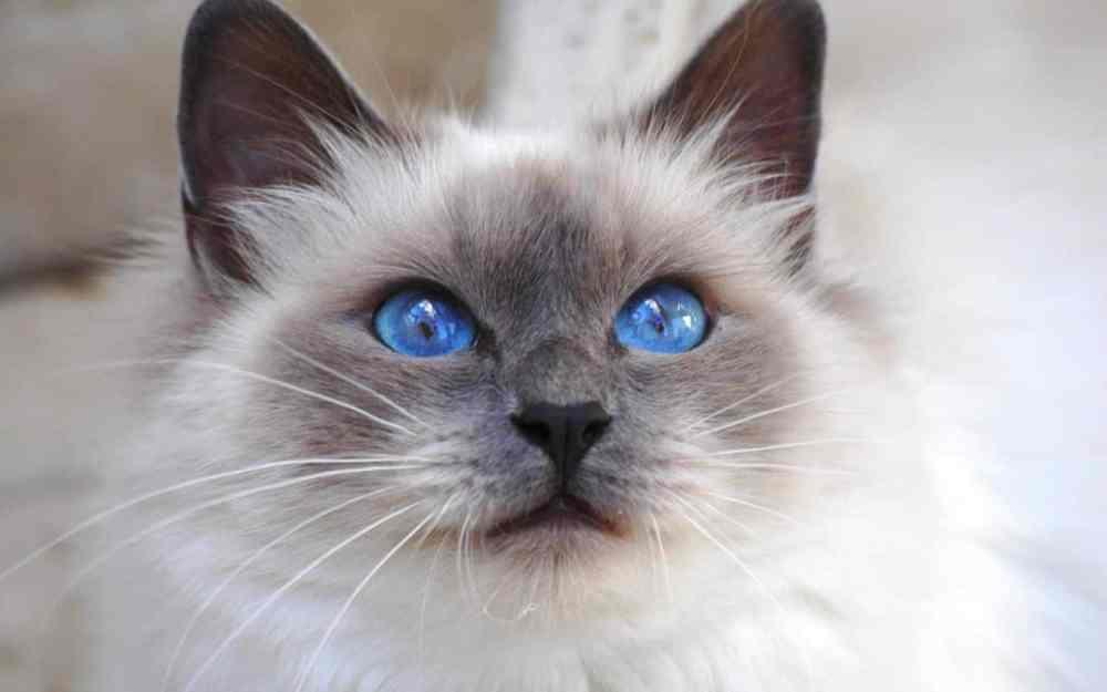 I-gatti-più-belli-del-mondo-Gatto-Sacro-di-Birmania-.jpg