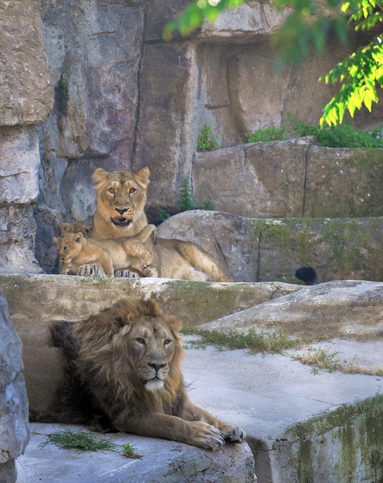 Famiglia_leoni asiatici