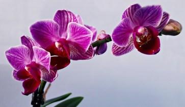 Orchidea (1)