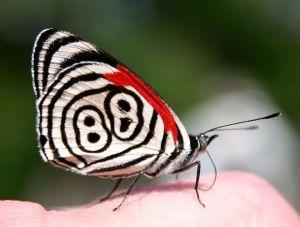 Eighty-eight Butterfly (Diaethria anna)