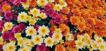 cuidados-de-los-crisantemos