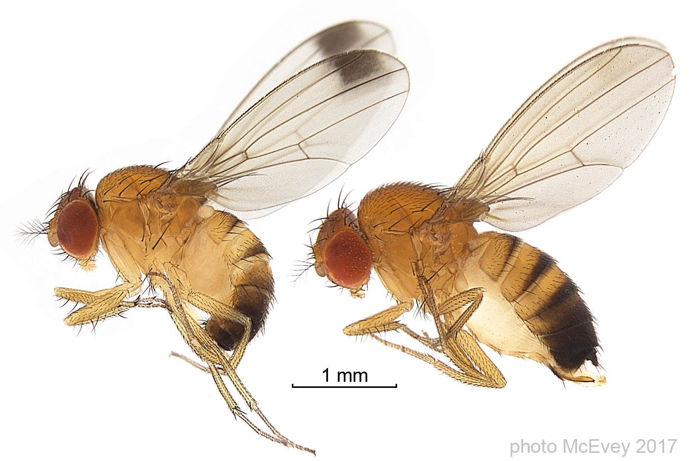 How Fruit Fly Genetics Could Save Your Summer Smoothies