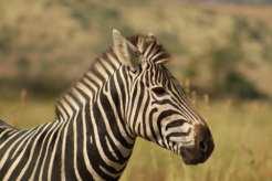 zebra at Mankwe