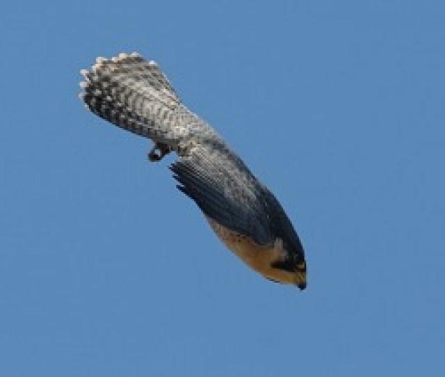 Peregrine Falcon In A Dive