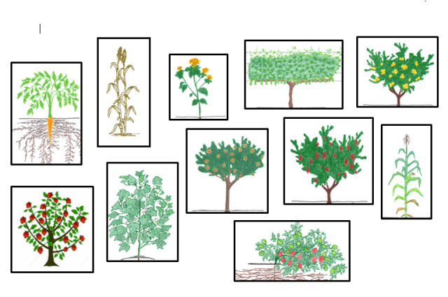Drawings of the crops to be analyzed - carrot, sorghum, safflower, grape, peach, pomegranate, cotton, pistachio, plum, corn, and tomato.