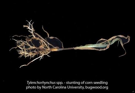 stunt nematode: symptoms, stunting of corn seedling