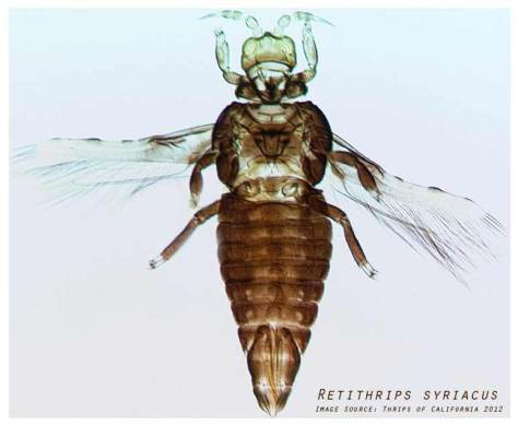 BlackVineThrips-RetithripsSyriacus-byThrips-of-California-2012