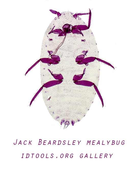 Jack Beardsley mealybug