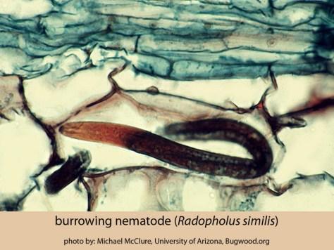 1356104-burrowing-nematode-byMichaelMcClure-Univ-of-Ariz-bugwood