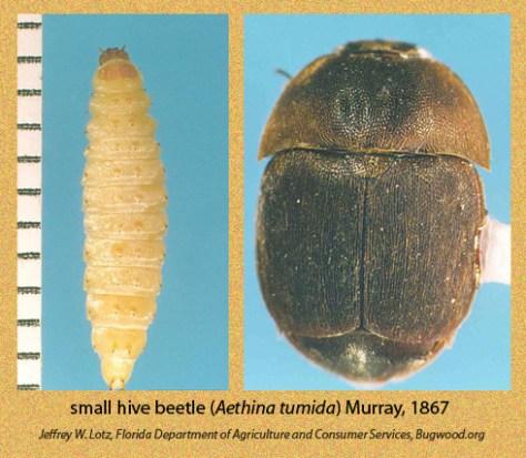 small-hive-beetle-byJeffreyLoft-FloridaAg-bugwood