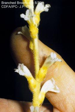 Branched broomrape | Orobanche ramosa (Photo by CDFA)