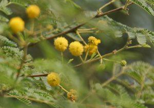 Vachellia nilotica