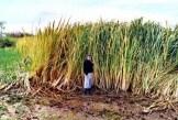 Click onManchurian Wild Rice | Zizania latifolia