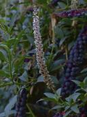 PhytolaccaHeterotepala plant