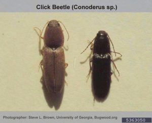 two Click Beetle