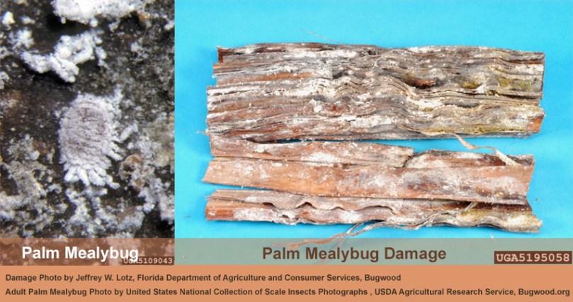 image of Palm Mealybug and its damage
