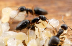Three White-Footed Ants