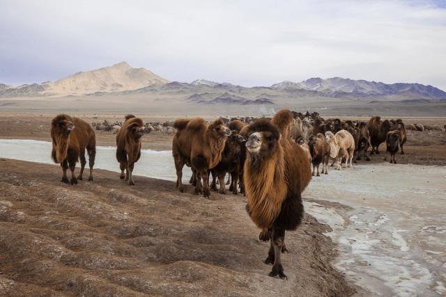 Bactrian Camel Mongolia Kazakh Eagle Hunt