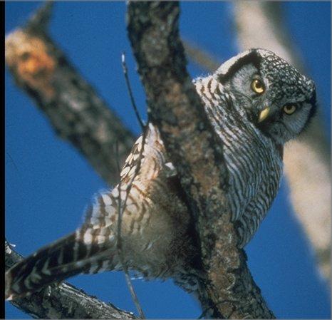 hawk owl (Surnia ulula)