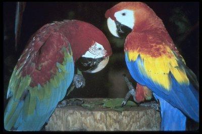 greenwing macaw (Ara chloroptera) and scarlet macaw (Ara maco)