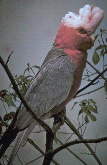 rose-breasted cockatoo (Elolphus roseicapillus)