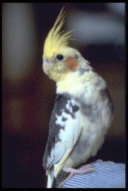 cockatiel --pied mutation (Nymphicus hollandicus)
