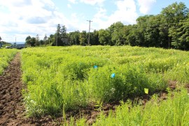 Research plots of summer annual forages at the Musgrave Research Farm.