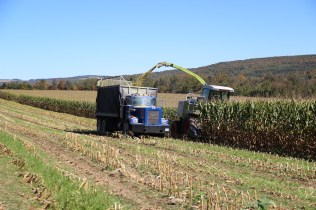 Harvesting corn in a field interseeded with ryegrass