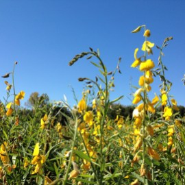 Sunn Hemp, a warm-season legume, one of the four plants used in mixtures.