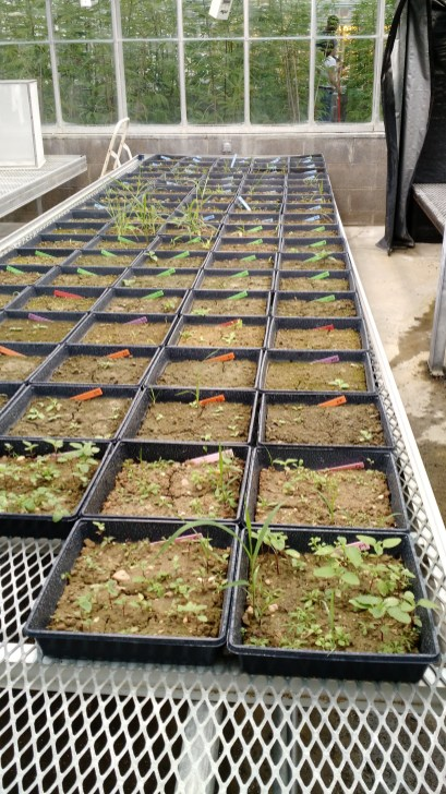 Weeds growing in the greenhouse germination bioassay