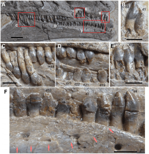 The teeth of Jianchangosaurus, closely resembling those of more primitive ornithopods or ceratopsian dinosaurs (source)