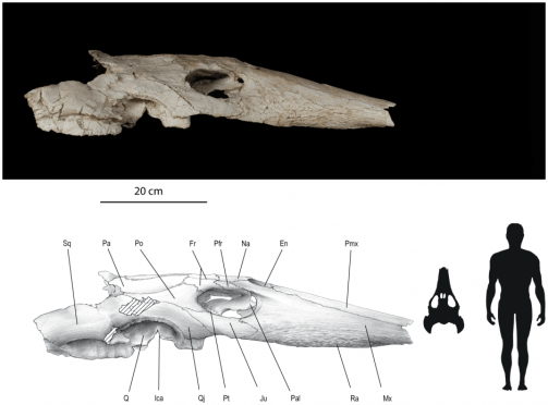 Skull of Ocepechelon, with human for scale. The long snout is pretty striking! (Bardet et al, 2013)