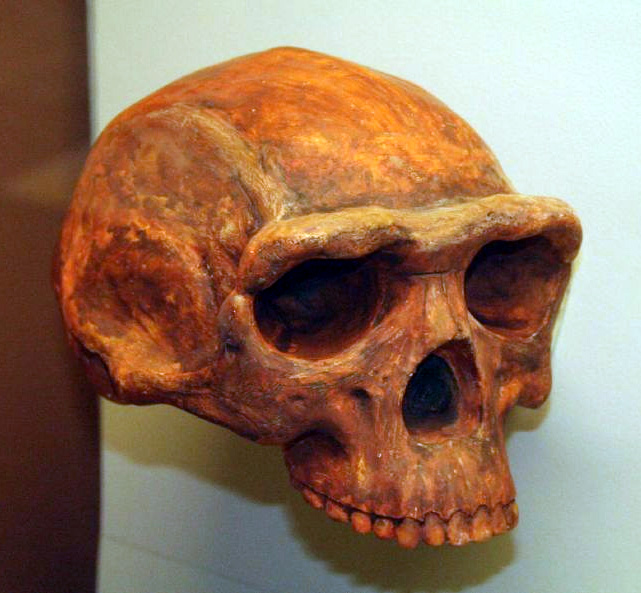 Homo erectus, Museum of Natural History, Ann Arbor, Mich. Photo: Thomas Roche/San Francisco.
