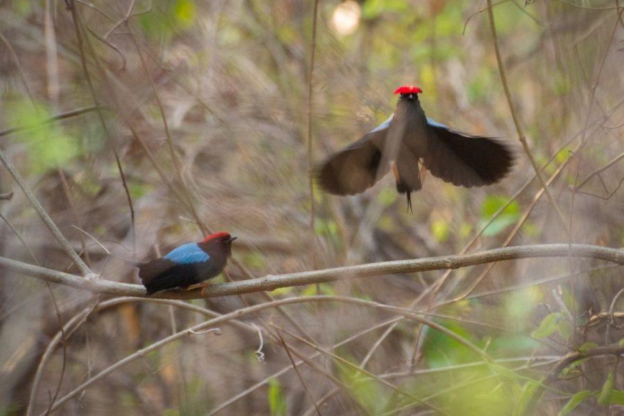 Varias especies de aves que habitan el BST hubieran tenido que desplazarse a otras zonas. Foto de Felipe Villegas-Expediciones von Humboldt.
