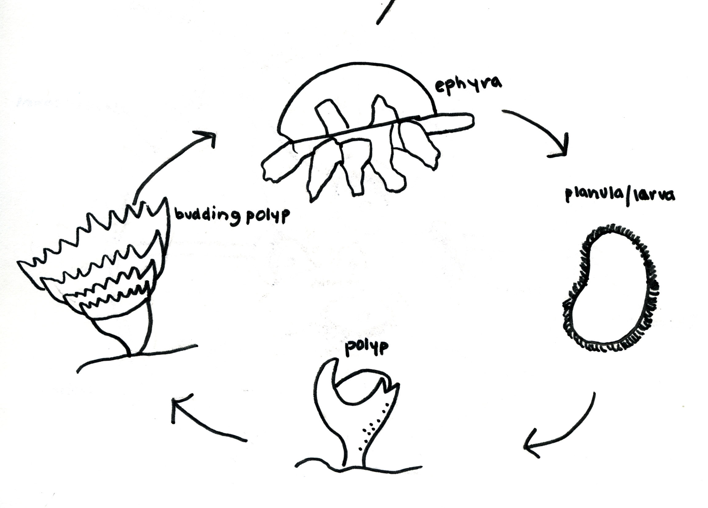 Crystal Jellyfish Life Cycle