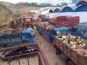 Trucks full of sheep
