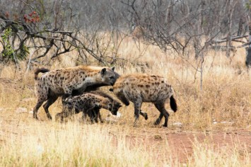 Group of hyenas