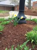 Daffodils are blooming all over campus!