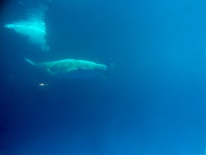 This little fella is a Beluga Whale we saw. He was extremely active and fun to watch!