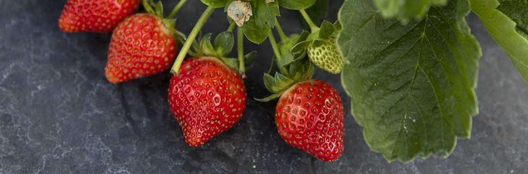 A cluster of strawberries growing at the Gulf Coast Research and Education Center in Balm, Florida.