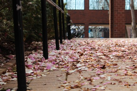 The walkway that leads into the Carlsen Center is covered with flower petals that have fell on the walkway, making the campus look pretty with petals. Photo by: Jennifer Tharp, The Campus Ledger.