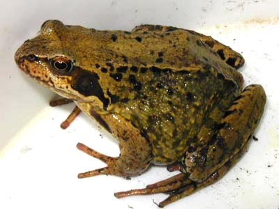 common garden frog News - School of Anthropology & Conservation - University