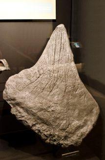 Placa dorsal fósil de un Stegosaurus en exhibición en el Museo de los Rockies en Bozeman, Montana