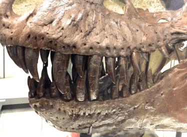 Dientes de un cráneo de Tiranosaurio.