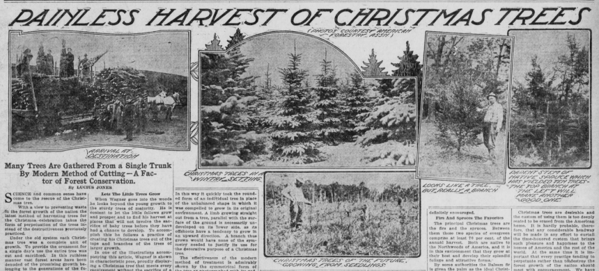 "Image of Christmas trees with the heading ""Painless Harvest of Christmas Trees."""